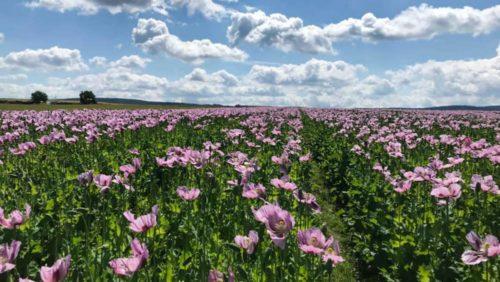 Feld voller blühender Mohnpflanzen